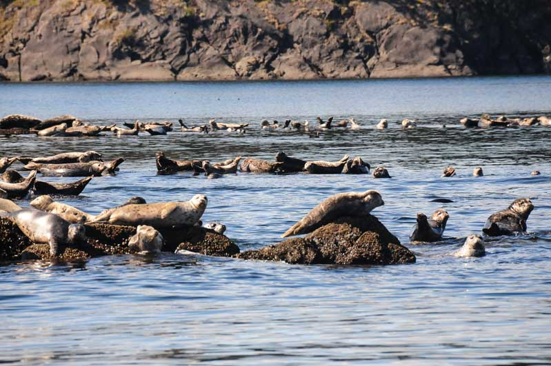 Harbor Seals Haul out at the Cactus Islands North of Speiden