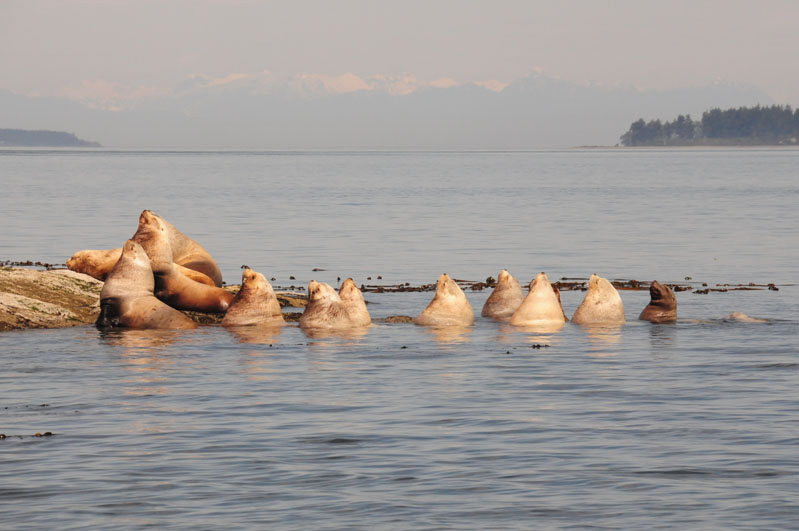 Steller Sea Lions waiting for the tide to fall