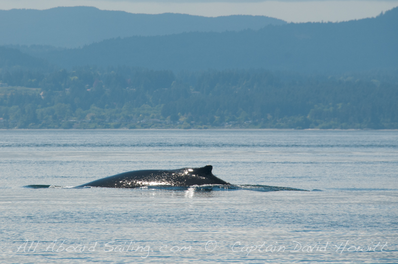 Whale watching Sailing around San Juan Island