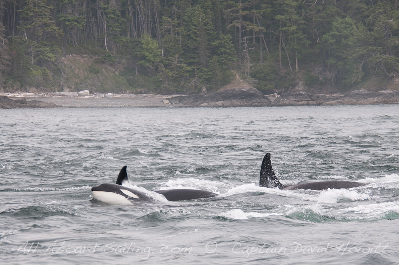 All Aboard Sailing sails around Lopez with Transient Orcas