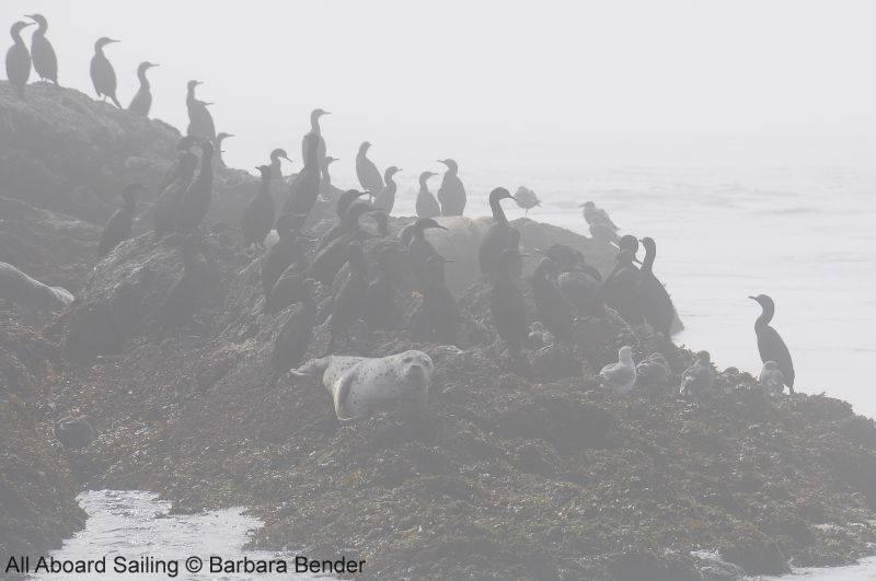 Pelagic cormorants and Harbor seals