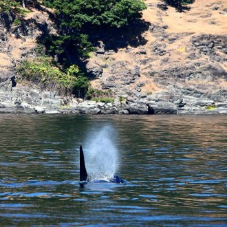 Midsummer Sail with Whales from San Juan to Stuart Islands