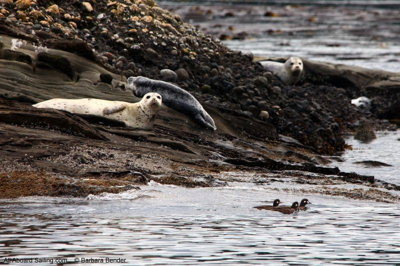 Harbor seals and harlequin ducks