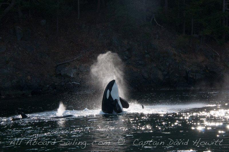 Syphon Transient (Biggs) Orca