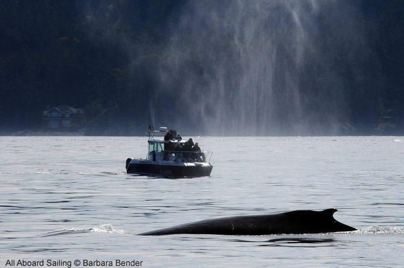 Humpback dwarfs Peregrine - Maya's Legacy Whalewatching