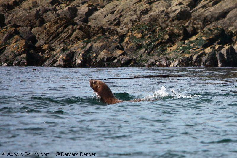 Young stellar sea lion
