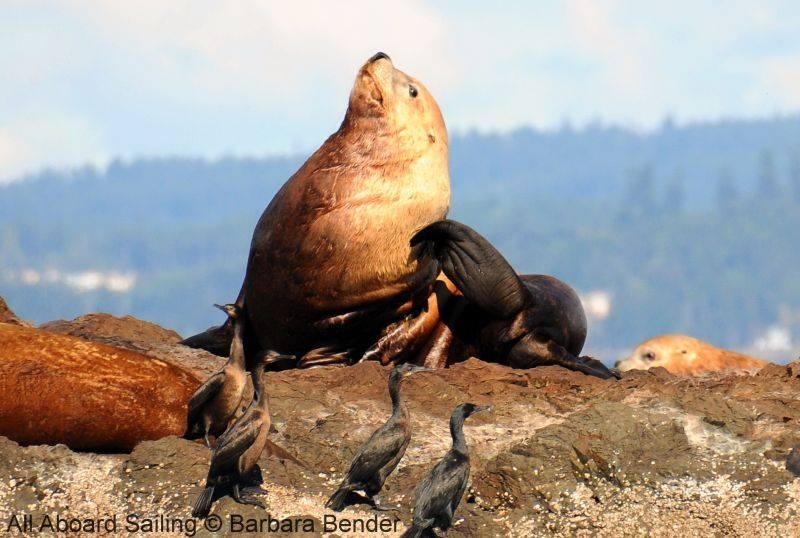 itchy stellar sea lion