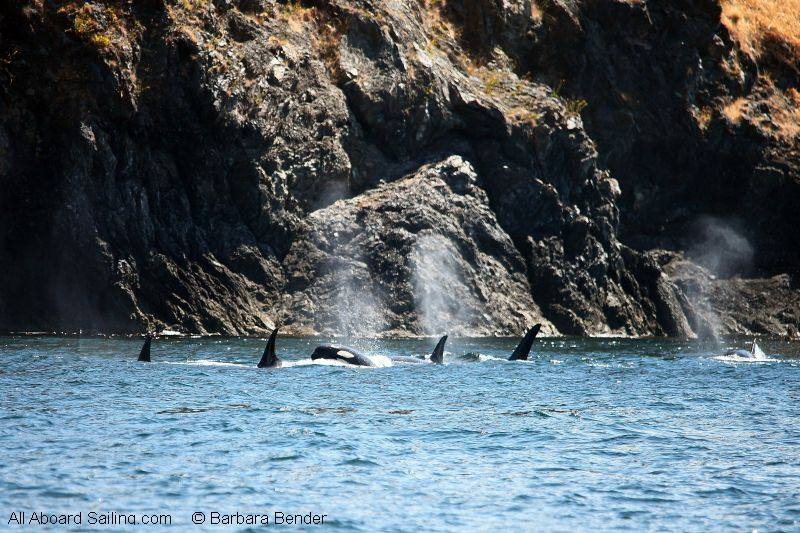 Orcas passing Kellett Bluff