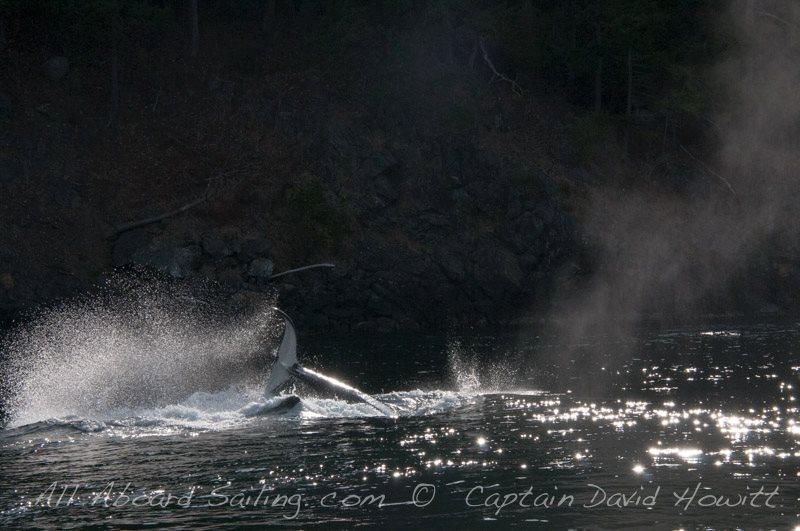 Transient (Biggs) Orca
