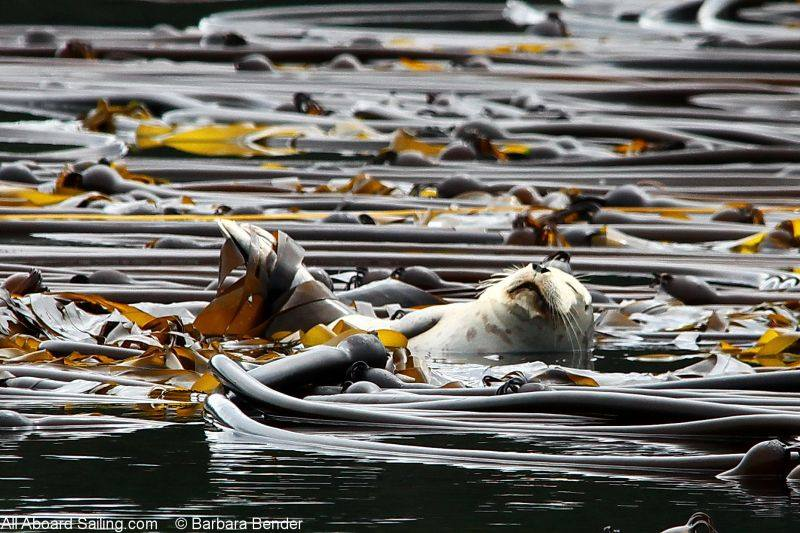 Harbor seal napping in the kelp