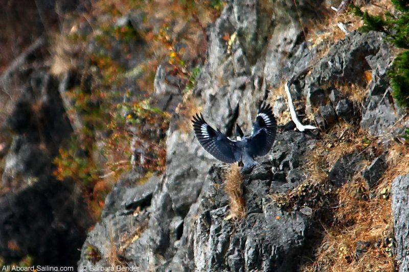Belted Kingfisher coming in for a landing