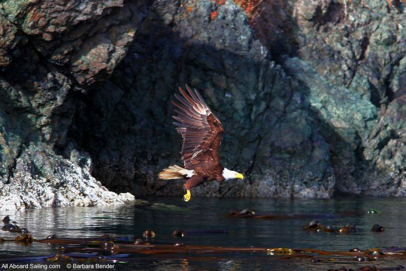 Bald Eagle, Turn Island