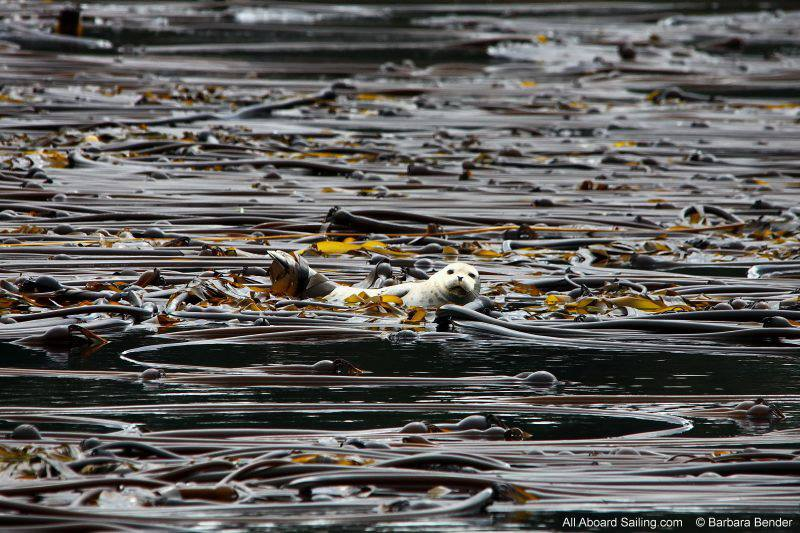 Harbor seal hanging out in the kelp forest