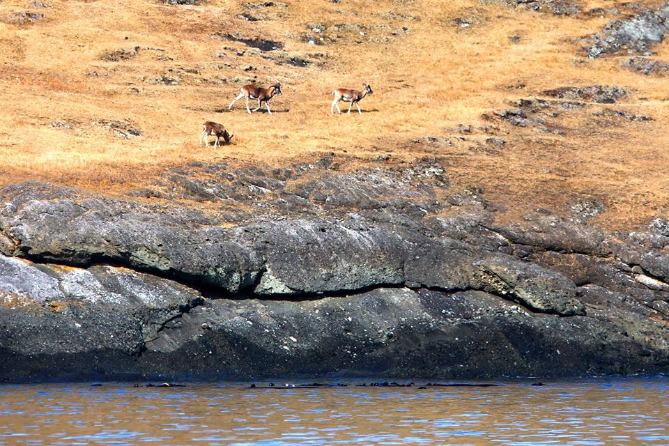 Mouflon Rams on Spieden Island