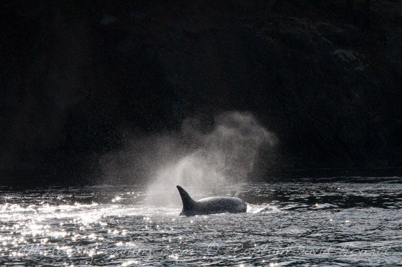 T60D Transient (Biggs) Orca