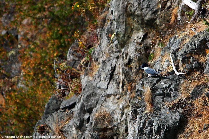 Belted Kingfisher perched on Turn Island