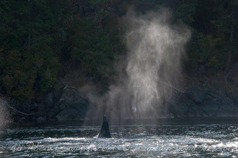T60C Transient (Biggs) Orca