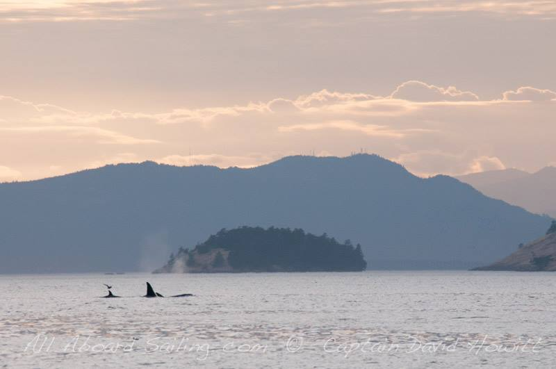 Transient Orcas in the sunset, San juan Island