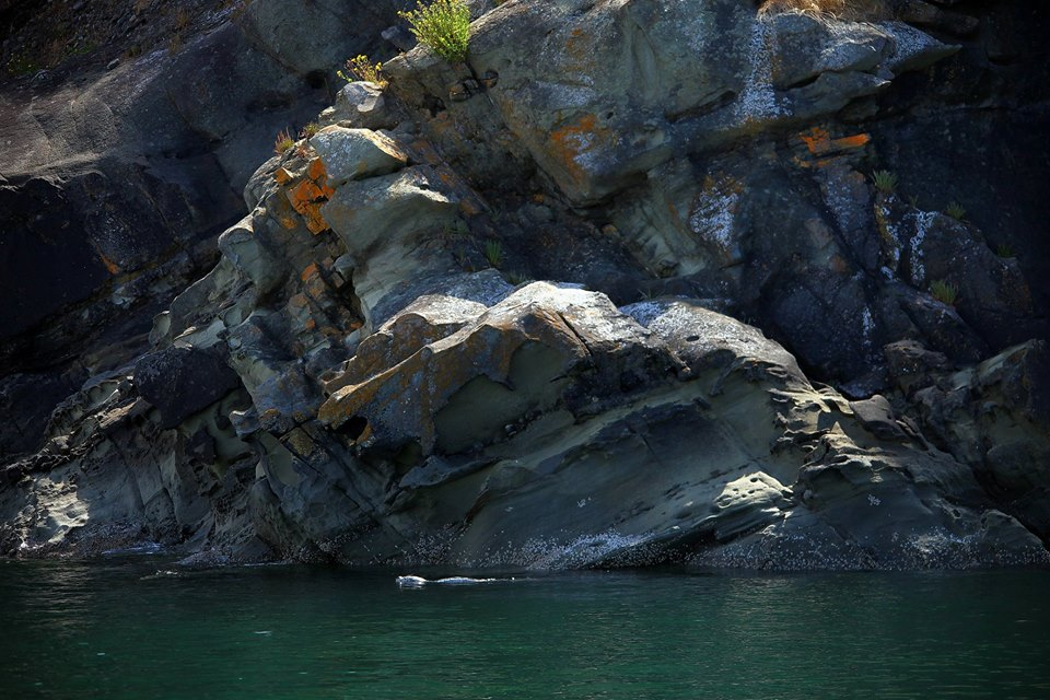 Harbor Seal cruising along the Flattop Island shore