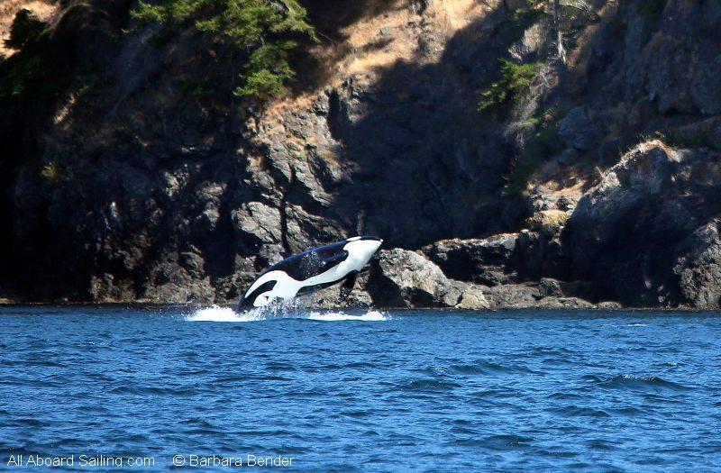 Southern Resident Orca breach off Kellett Bluff