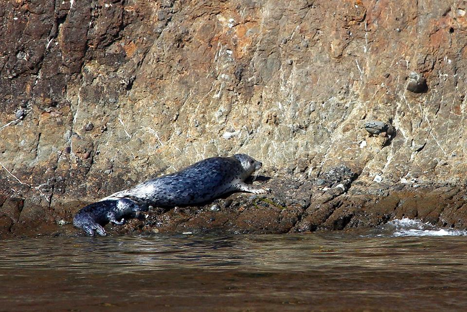 Harbor Seal Mum and pup