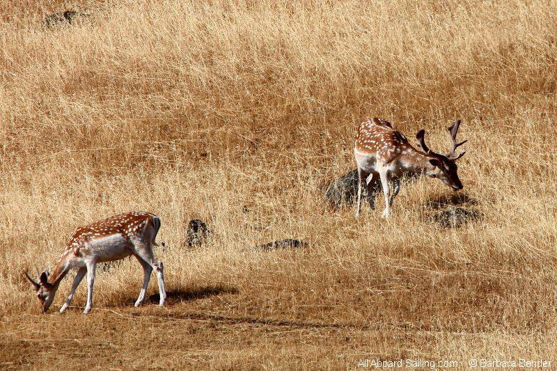 Fallow Deer on Spieden Island