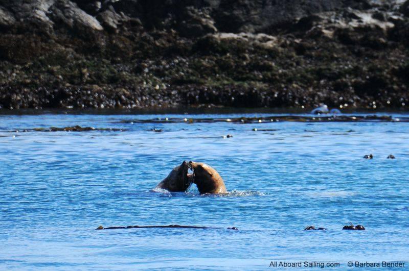 Stellar Sea Lions by Whale Rocks