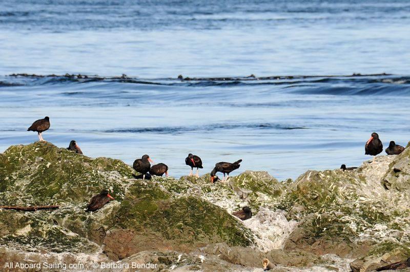 Black Oyster Catchers on Whale Rocks