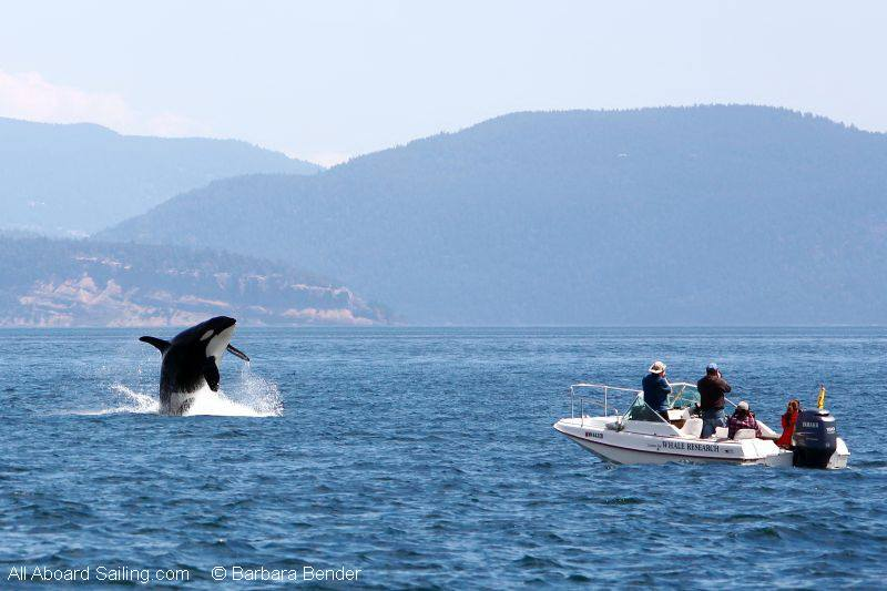 Orca breach beside Center for Whale Research boat