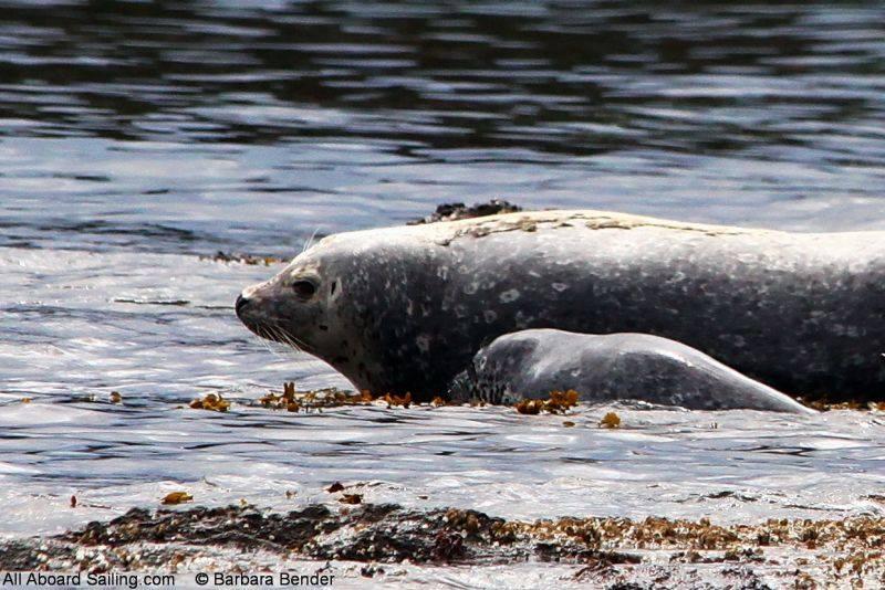 Harbor seal Mum and Pup