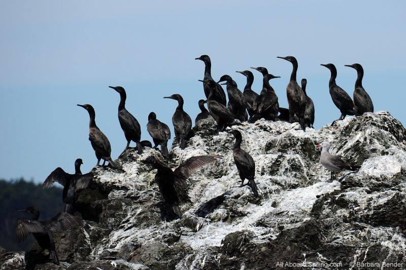 Cormorants on Whale Rocks