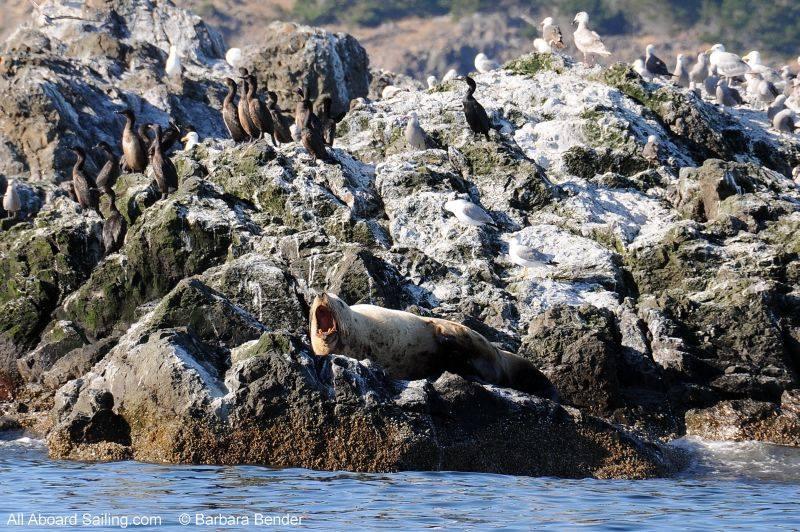 Stellar Sea Lion yawning on Whale Rocks
