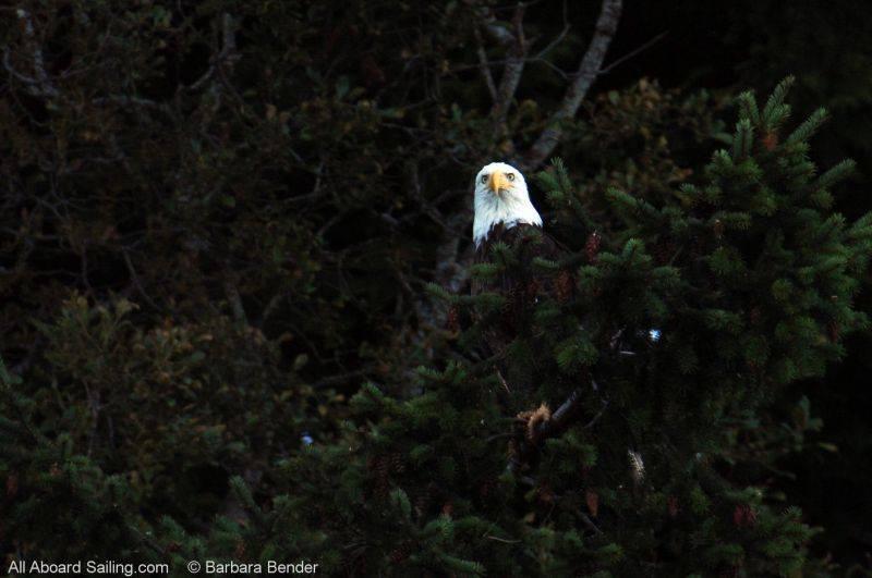Bald Eagle on Spieden Island
