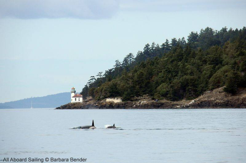 Transient Orcas at Lime Kiln Point Lighthouse