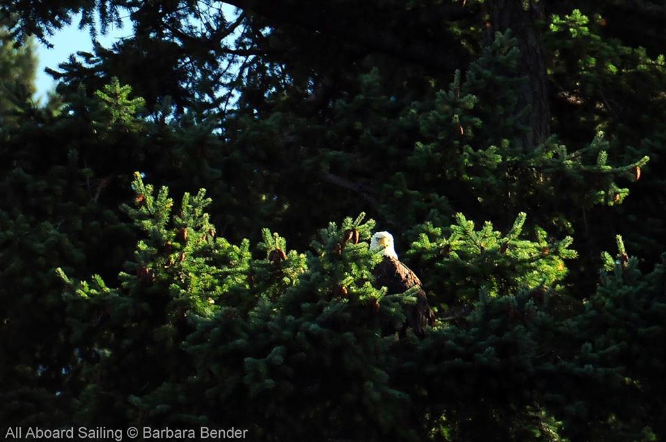 Bald Eagle - Speiden Island