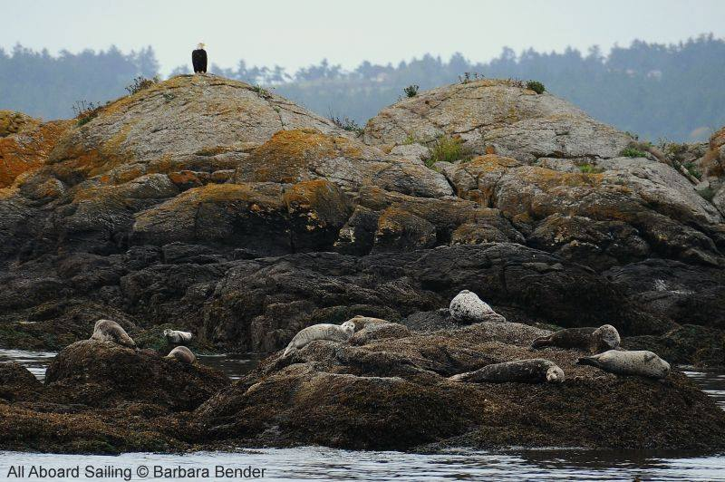 Bald Eagle with Harbor seals