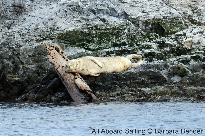 napping harbor seal
