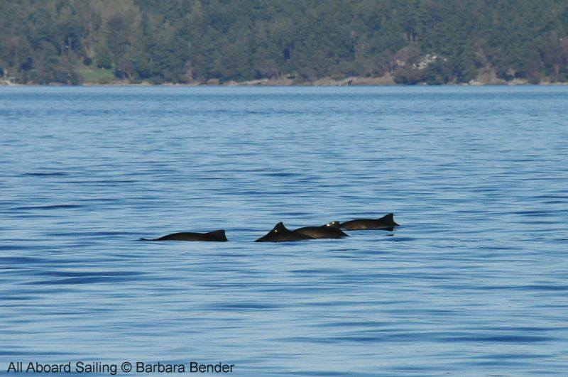 Harbor Porpoises - more than we've ever seen