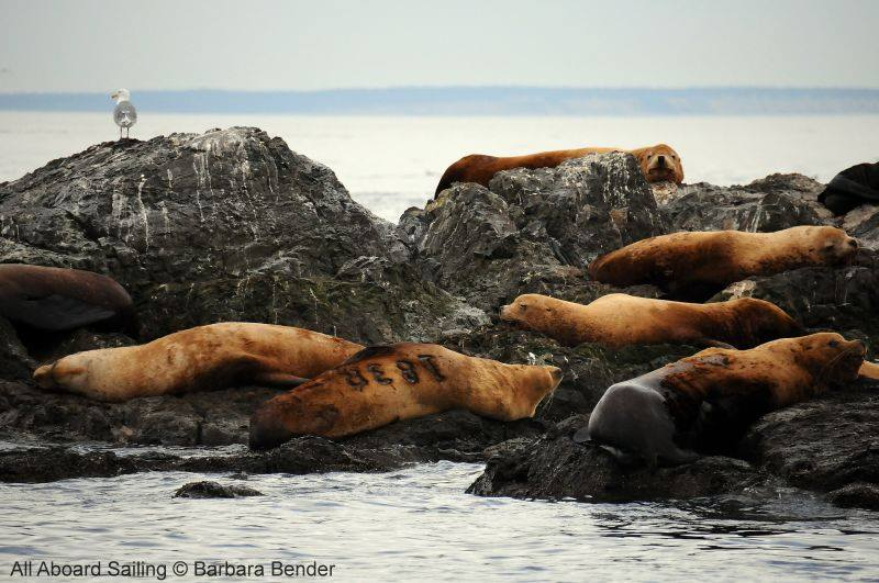 Stellar Sea Lion Haul Out