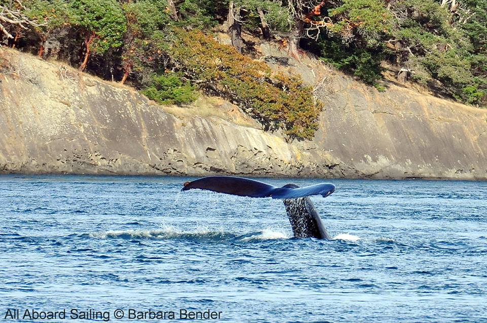 Humpback whale flukes before deep dive - Flattop Island