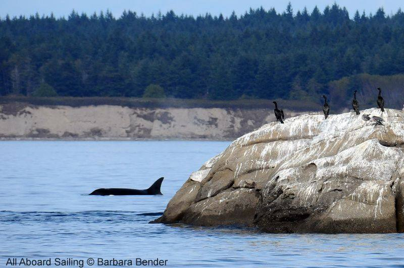 Transient Orca hunting at White Rock