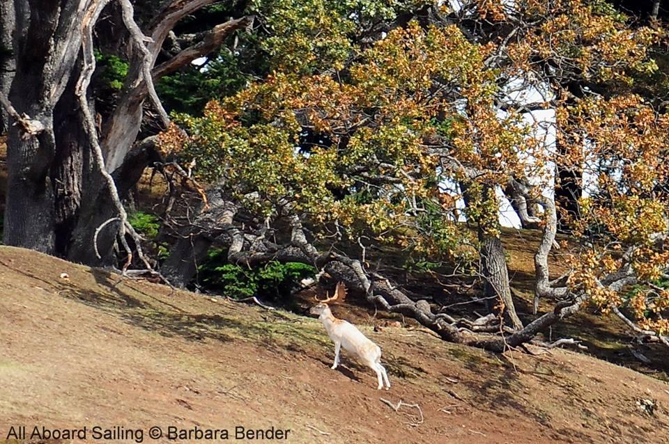 Fallow deer and Gary Oak - Speiden Island