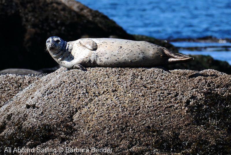 Harbor seal warming in sunshine