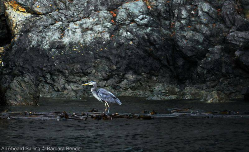 Great Blue Heron stands waiting on kelp bed Turn Island