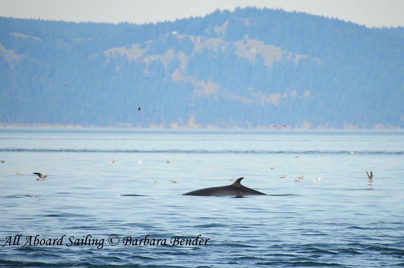 Mingle whale surfaces between bait balls