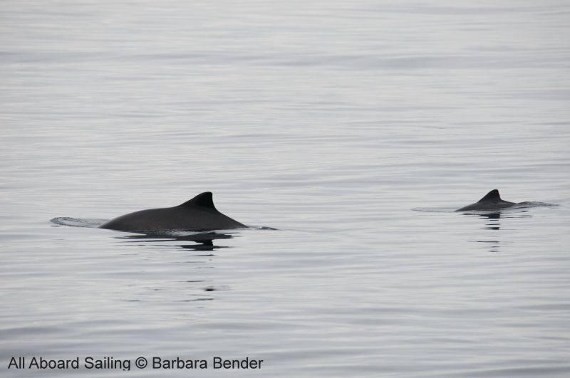 Mum and calf? Harbor porpoises