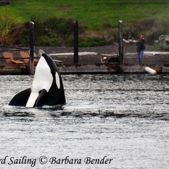 Sailing with the T60 family of Transient Orcas passed Friday Harbor