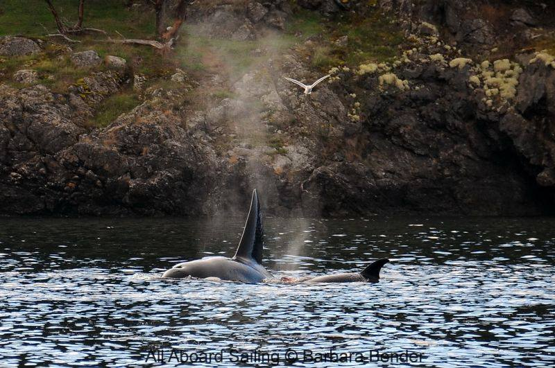 Transient Orcas stop for a seal supper right outside of Friday Harbor - see the red of the blood in between them