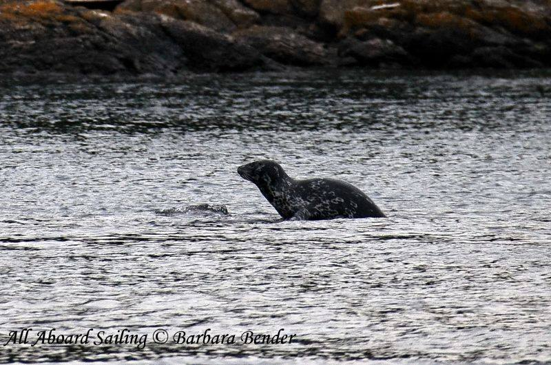 Watchful harbor seal keeping an eye on the transients passing by