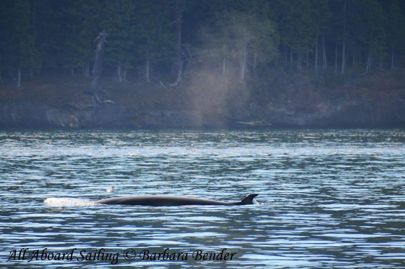 Minke whale near bait ball Speiden Island